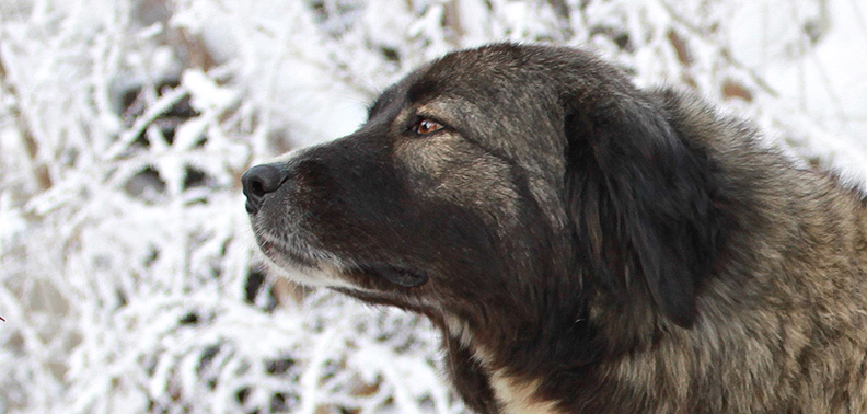 Romanian CarpathianShepherd Dog